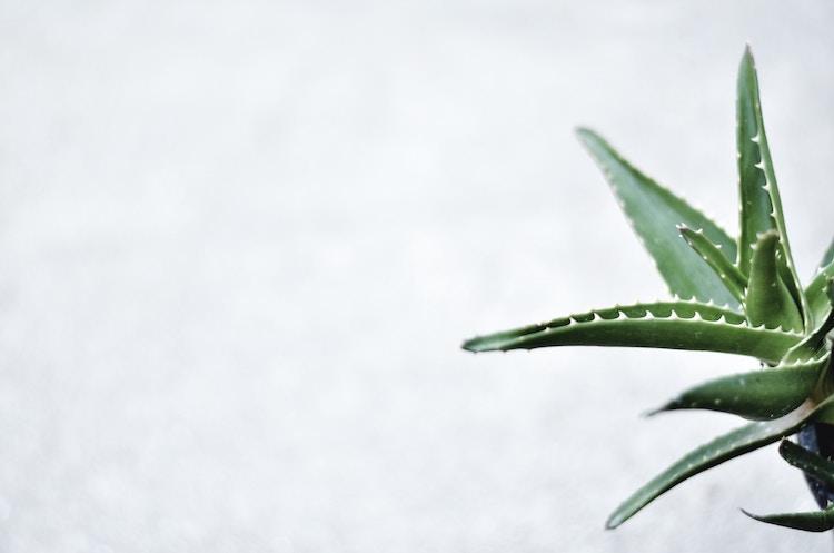 plante aloes