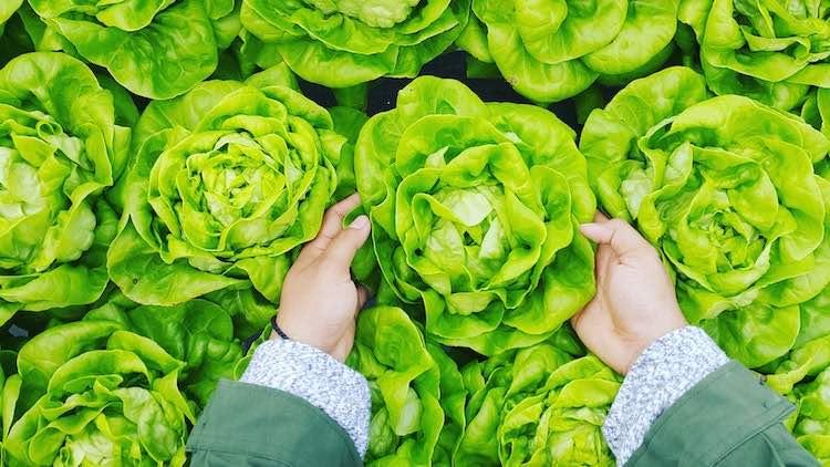 cueillette d'une salade